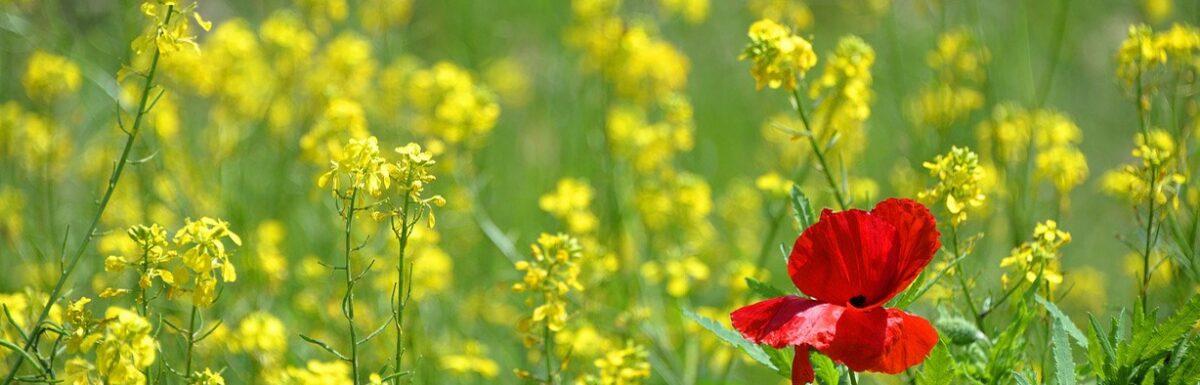 poppy-1819645_1280